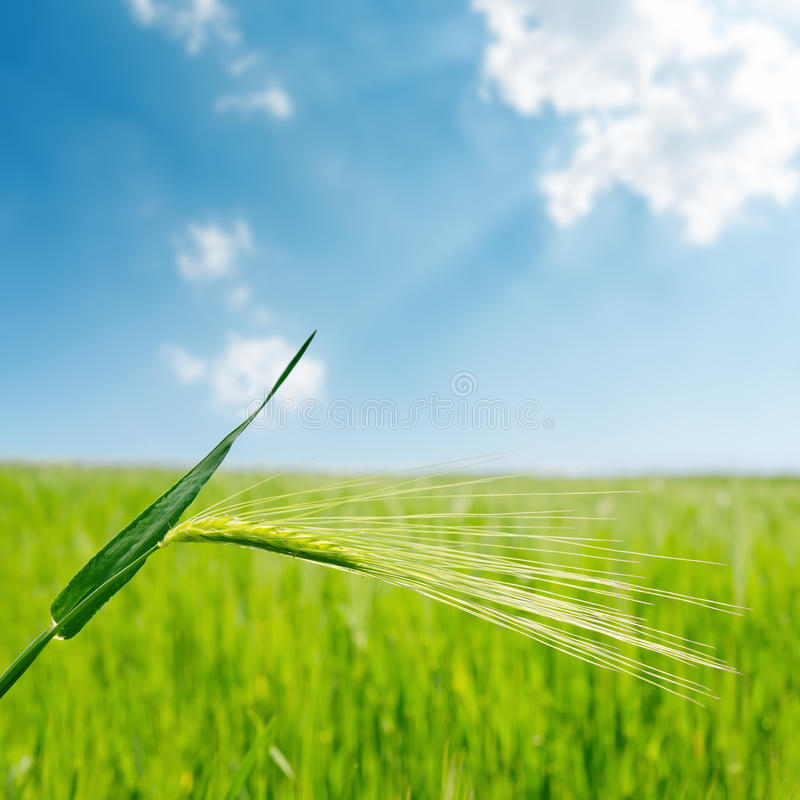 Blauer Himmel mit Wolke und grünem Spica über Feldnahaufnahme stockfoto