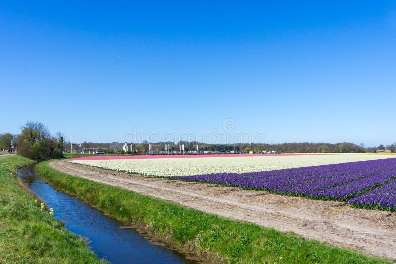 Blauer Himmel und Tulpenfeldlandschaft, traditionelle Holl?nder, die Niederlande, Europa lizenzfreies stockfoto