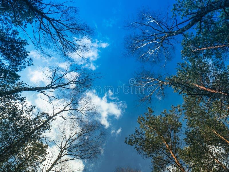 Blauer Himmel unter den Kronen von Bäumen stockfotografie