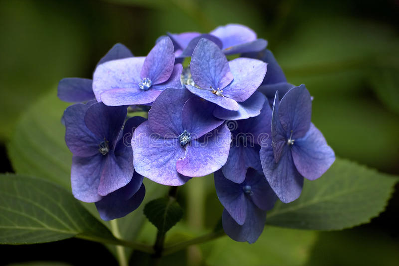 Blauer Hortensia Hydrangea lizenzfreies stockfoto