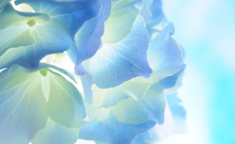 Blauer Hydrangea lizenzfreie stockfotos