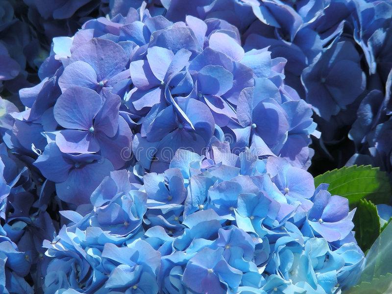 Blauer Hydrangea lizenzfreies stockbild