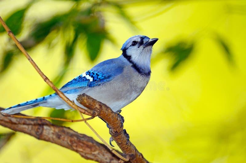 Blauer Jay stockfoto