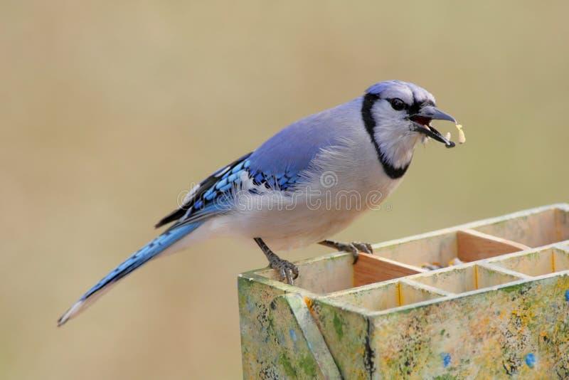 Blauer Jay (corvid Cyanocitta) stockbild
