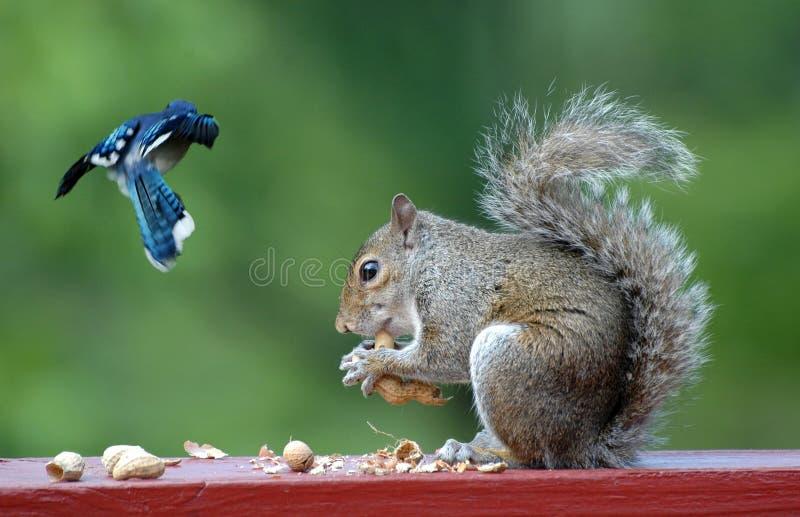 Blauer Jay und Eichhörnchen stockbild