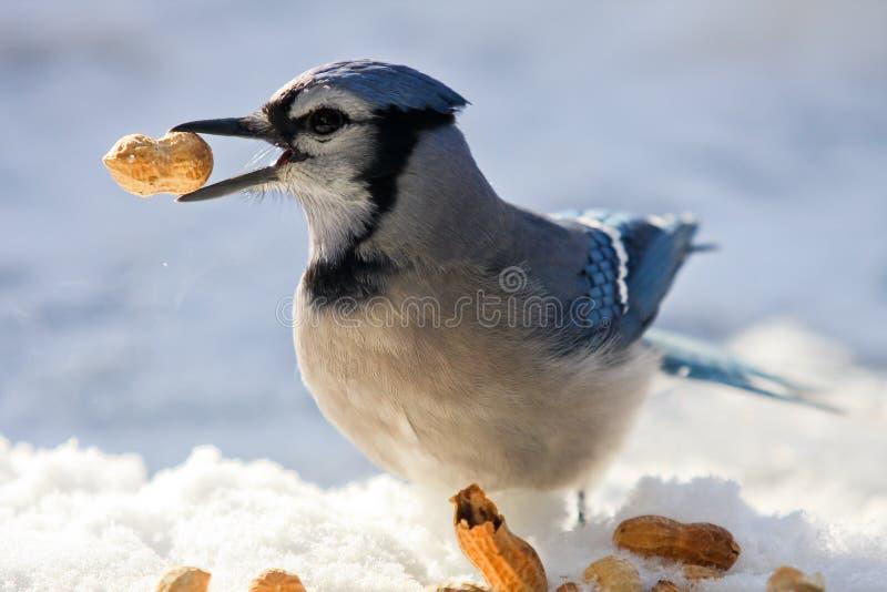 Blauer Jay und Erdnüsse stockbild