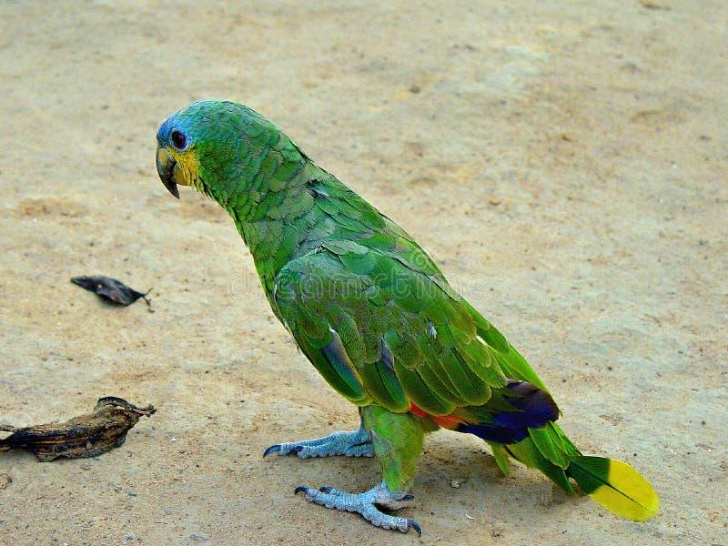 Blauer konfrontierter Papagei Amazonas, der auf dem Boden geht stockfotografie