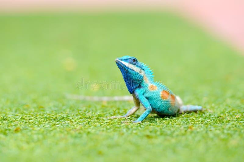 Blauer Leguan in der Natur stockfotografie