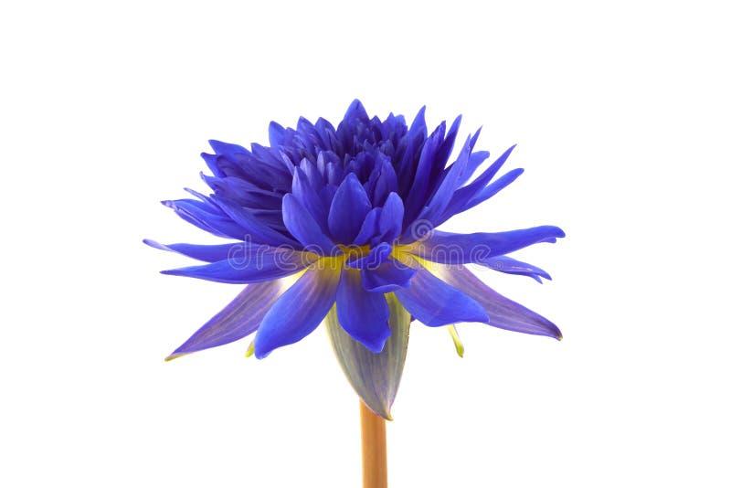 Blauer Lotos auf weißem Hintergrund stockfotos