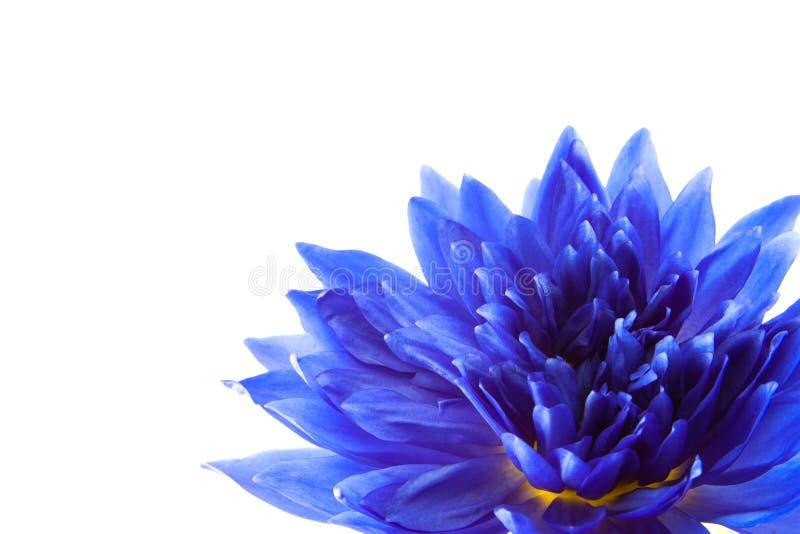 Blauer Lotos auf weißem Hintergrund stockbild