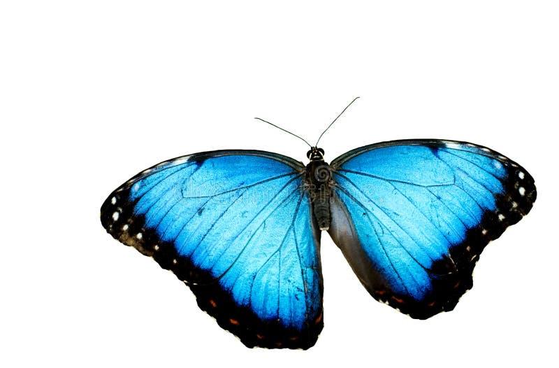 Blauer Morpho Basisrecheneinheits-Weiß-Hintergrund stockfotografie