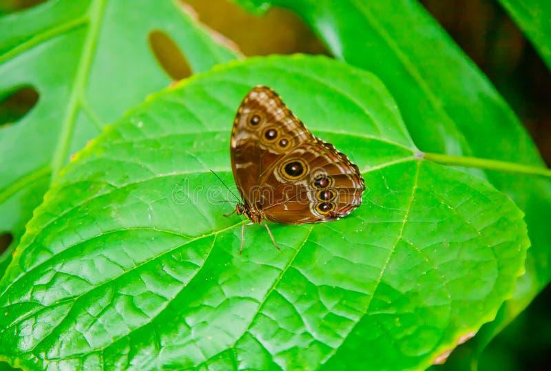 Blauer Morpho-Schmetterling auf einem Blatt lizenzfreie stockfotos
