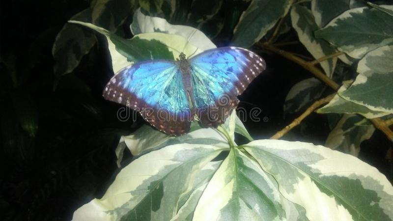 Blauer Morpho-Schmetterling, der auf veränderten Blättern stillsteht lizenzfreie stockfotografie