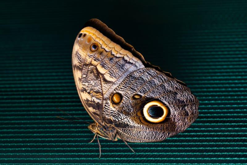 Blauer Morpho-Schmetterling gehockt auf Filetarbeit Schönheit der Natur stockbild