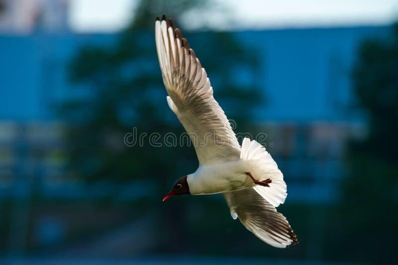Blauer Naturvogel der Fliegenseemöwenstadtkonzeptluft stockfotos