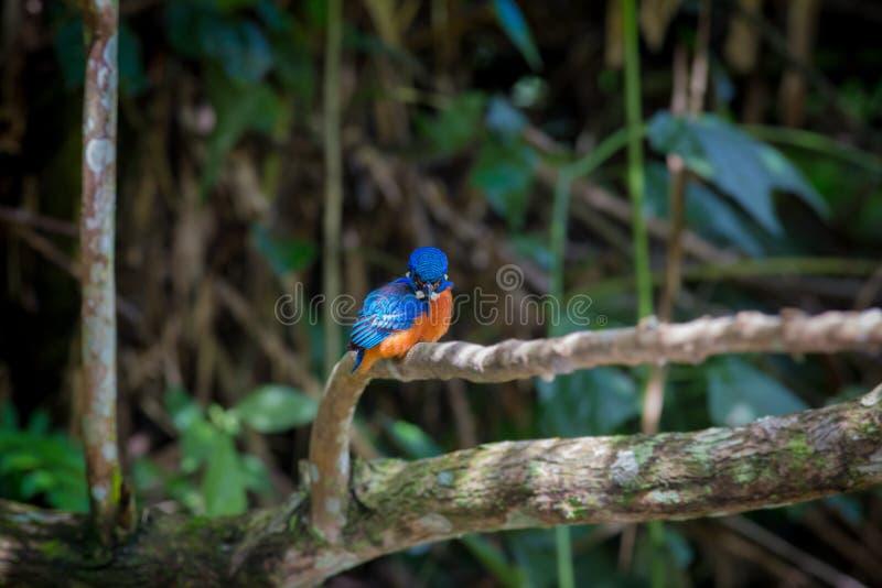 Blauer ohriger Eisvogel bei Kaoyai Thailand lizenzfreies stockfoto