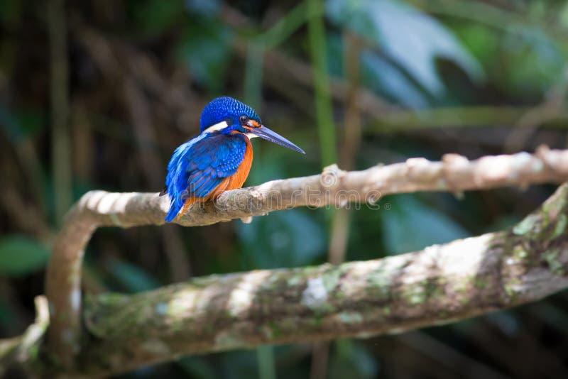 Blauer ohriger Eisvogel bei Kaoyai Thailand stockfotografie