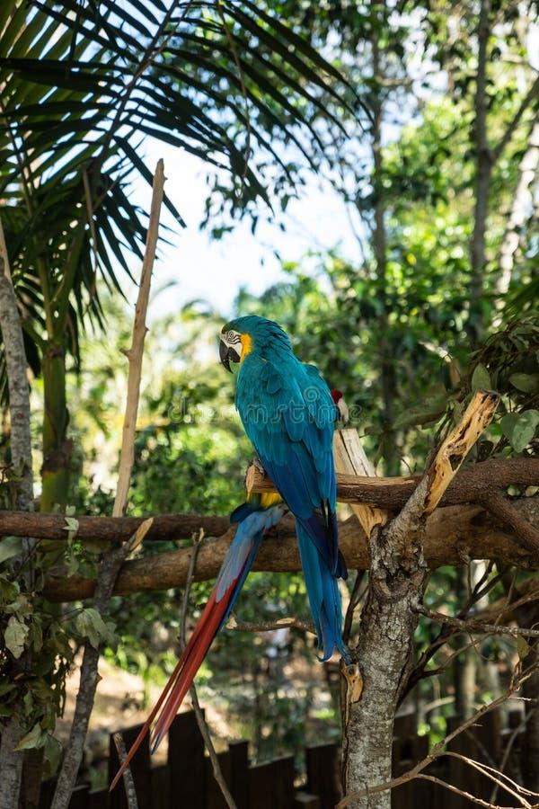 Blauer Papagei lizenzfreies stockbild