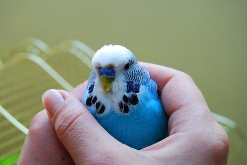 Blauer Papagei in der Hand lizenzfreies stockbild
