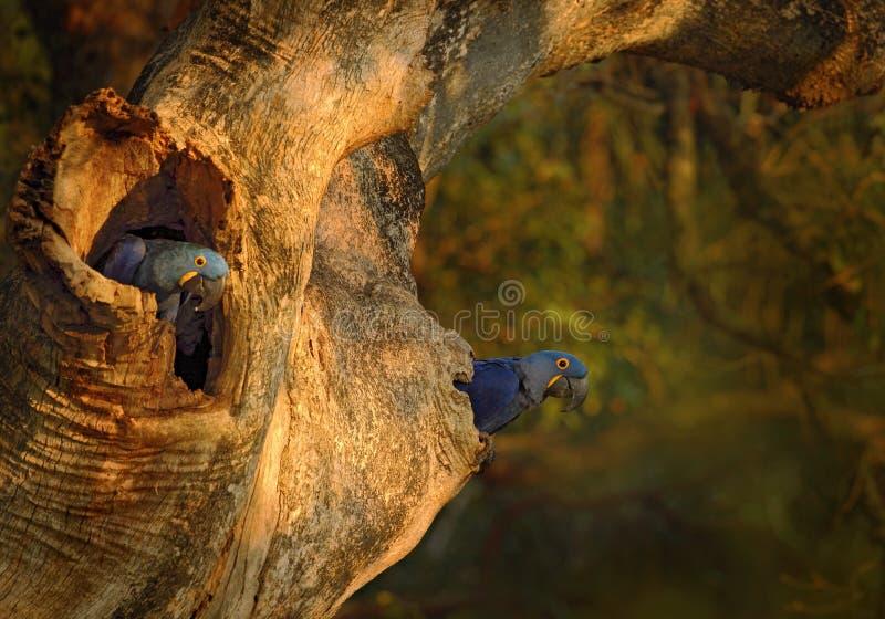 Blauer Papagei Hyacinth Macaw im Nestbaum in Brasilien Pantanal lizenzfreies stockfoto