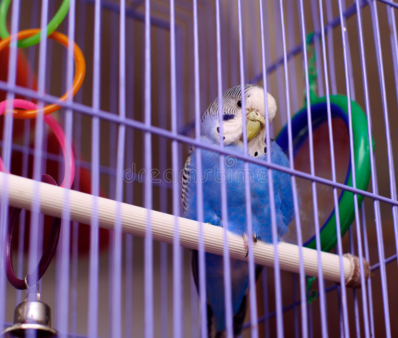 Blauer Papagei im Birdcage lizenzfreies stockfoto