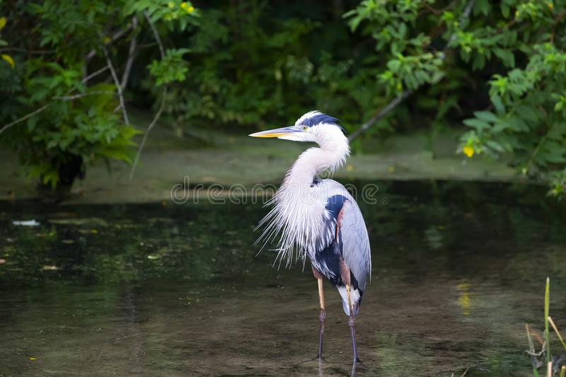 Blauer Reiher Ardea Herodias-Graureiher Florida stockbild