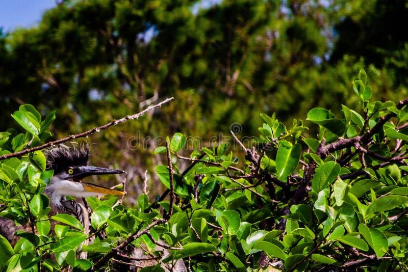 Blauer Reiher Chick Waitng, zum FED zu sein lizenzfreies stockbild