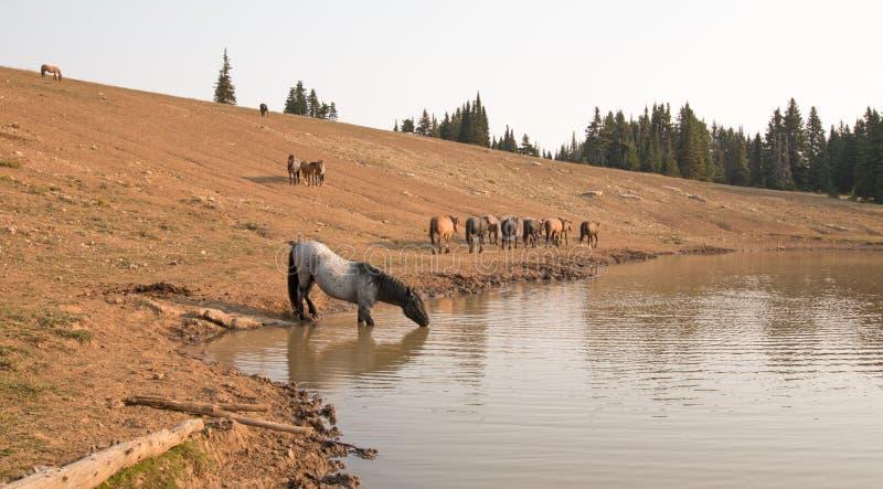 Blauer Roan Stallion, der mit Herde von wilden Pferden an der Wasserstelle in der Pryor-Gebirgswildes Pferdestrecke in Montana tr stockbild