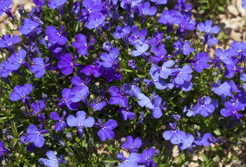 Blauer schleppender Lobelia-Saphir blüht oder, Lobelia, Garten Lobelia umrandend in St Gallen, die Schweiz Foto Sein lateinischer stockfotografie