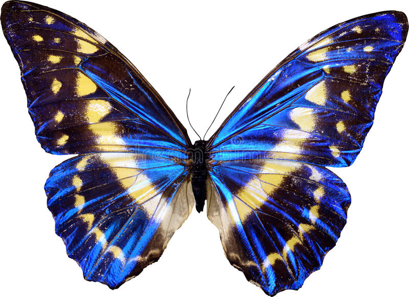 Blauer Schmetterling lizenzfreie stockfotografie
