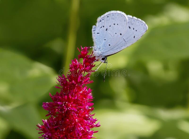 Blauer Schmetterling auf einer roten astilba Blume stockbild