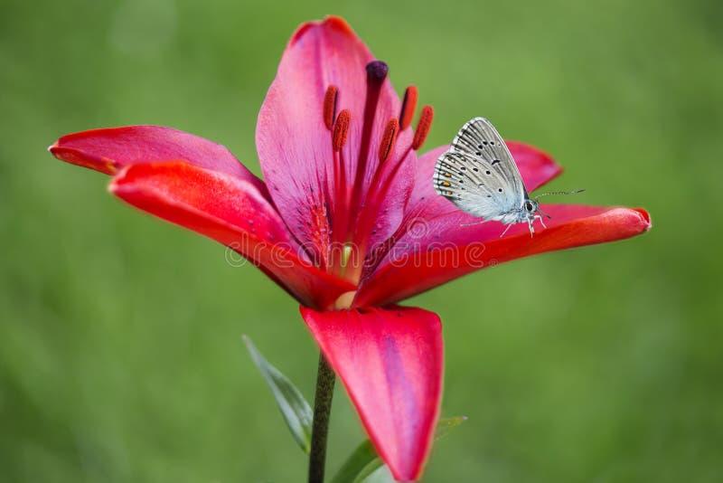 Blauer Schmetterling auf roter Lilie stockfotografie