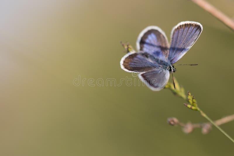 Blauer Schmetterling, der auf einem Grashalm stillsteht stockfotografie