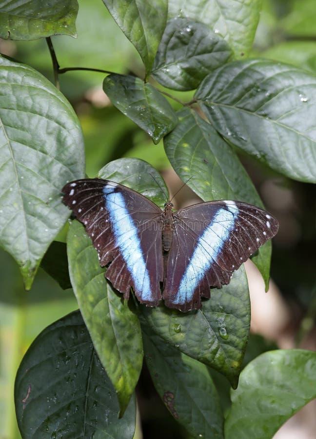 Blauer Schmetterling, eines Morphos Spezies, Französisch-Guayana stockfotografie