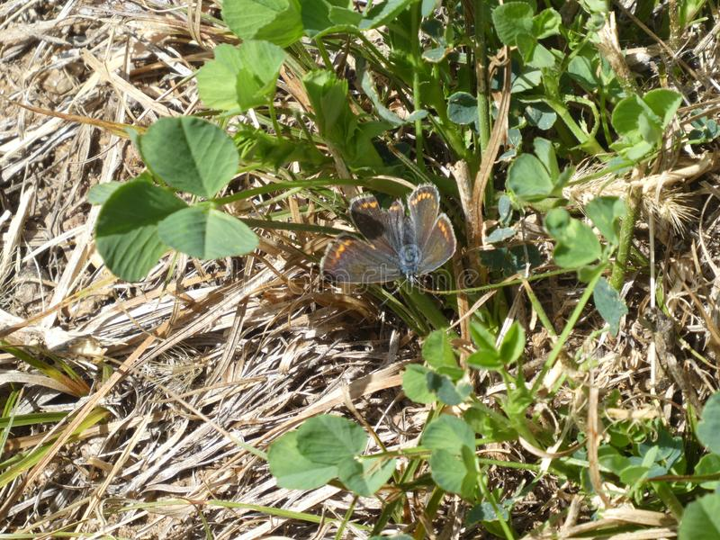 Blauer Schmetterling Osiris in den Bergen lizenzfreies stockbild