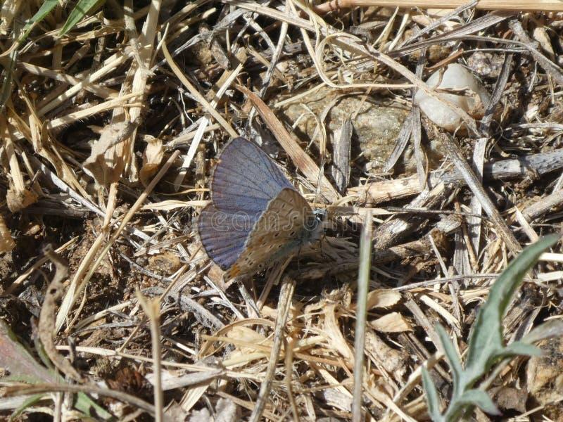 Blauer Schmetterling Osiris in den Bergen lizenzfreies stockfoto