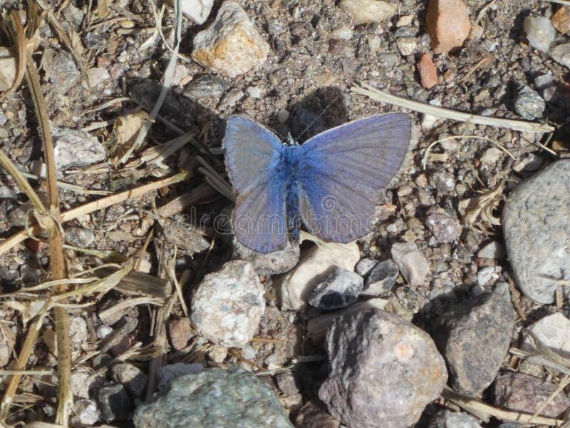 Blauer Schmetterling Osiris in den Bergen stockfotografie