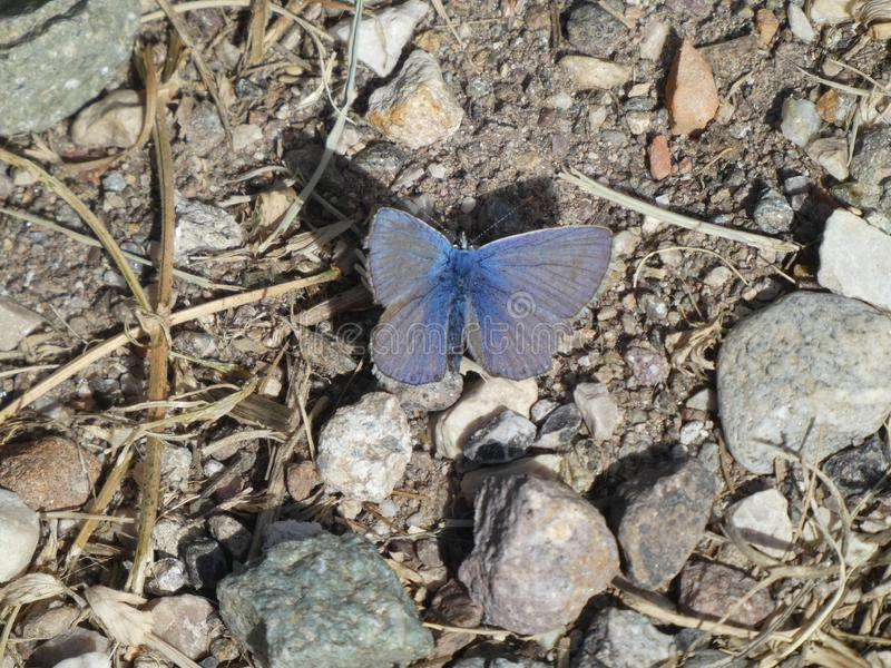 Blauer Schmetterling Osiris in den Bergen stockbild