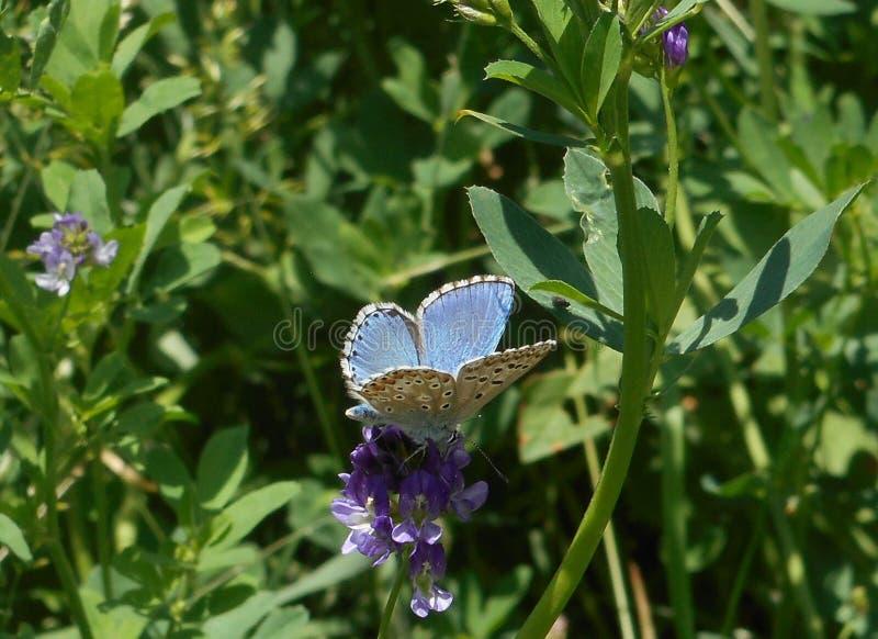 Blauer Schmetterling Osiris in den Bergen von Italien stockfotografie
