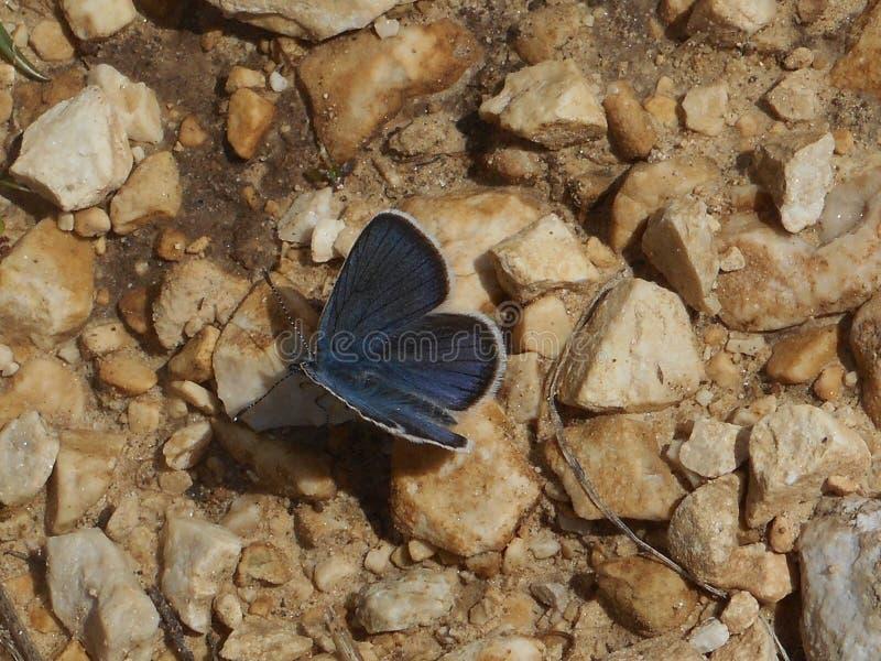 Blauer Schmetterling Osiris in den Bergen von Italien lizenzfreie stockfotografie