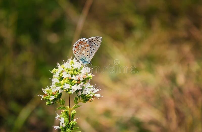 Blauer Schmetterling Polyommatus mit Orange und schwarze Flecke hockte auf einer Blume mit den weißen Blumenblättern lizenzfreie stockbilder