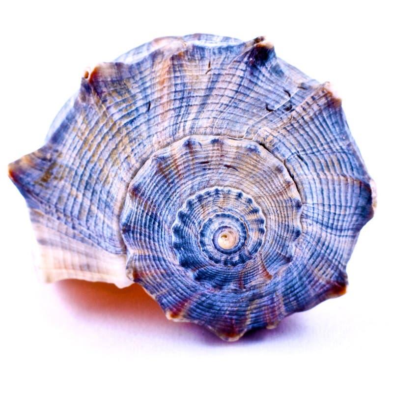 Blauer Seashell stockfotografie