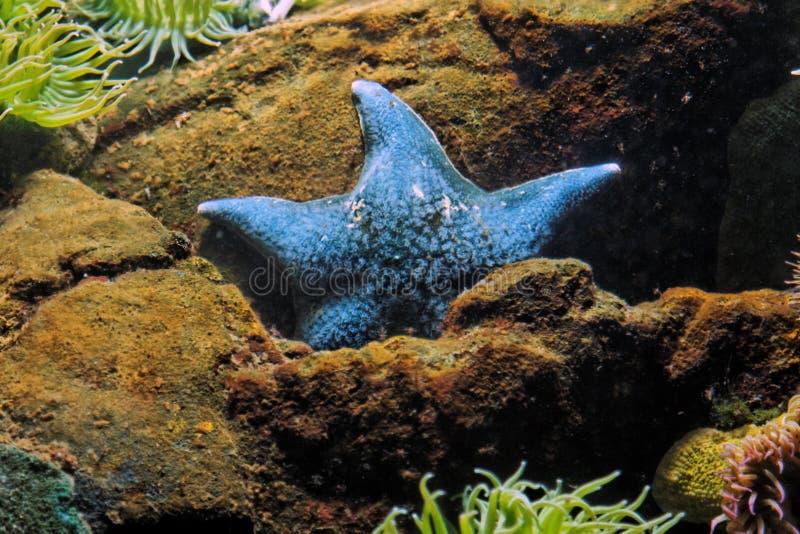 Blauer Seestern lizenzfreies stockfoto