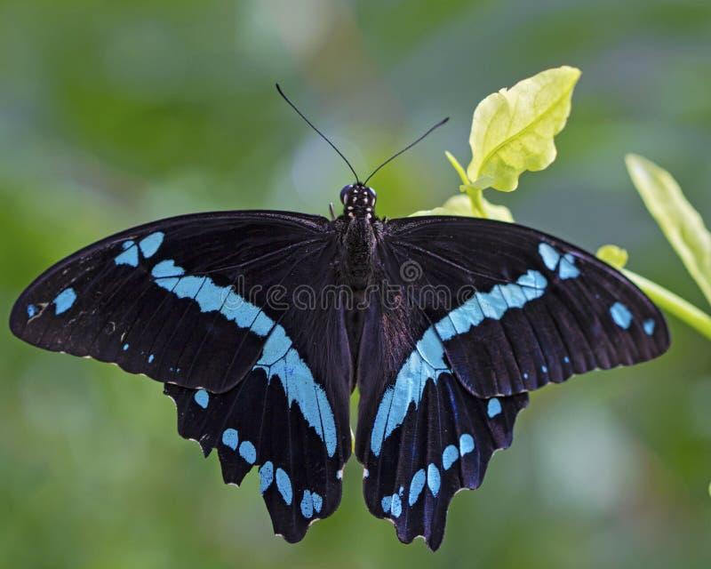 Blauer Türkis und schwarzer Schmetterling stockbild