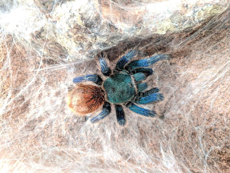Blauer Tarantula stockbild