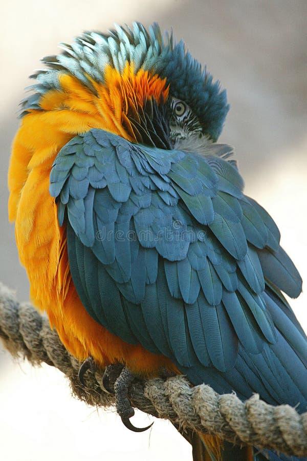 Blauer throated Macaw stockbilder