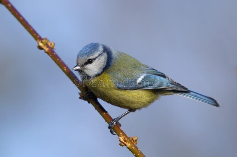 Blauer Tit stockbild