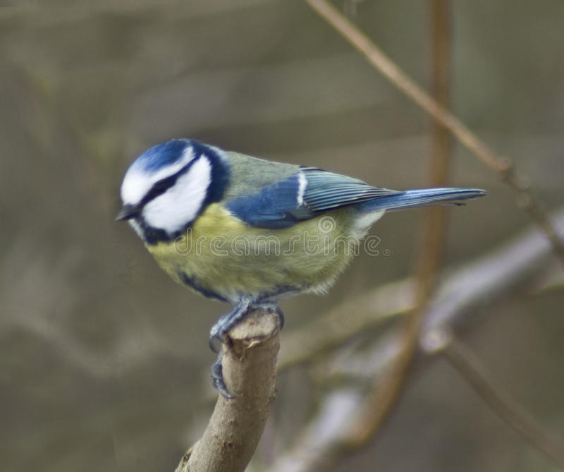 Blauer Tit stockfoto