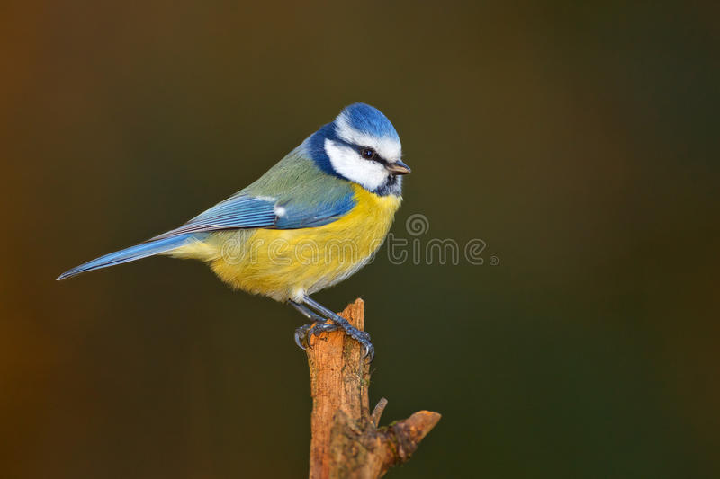 Blauer Tit im Winter lizenzfreie stockbilder