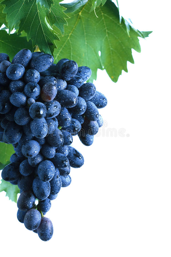 Blauer Traubenblock mit Blättern stockfoto